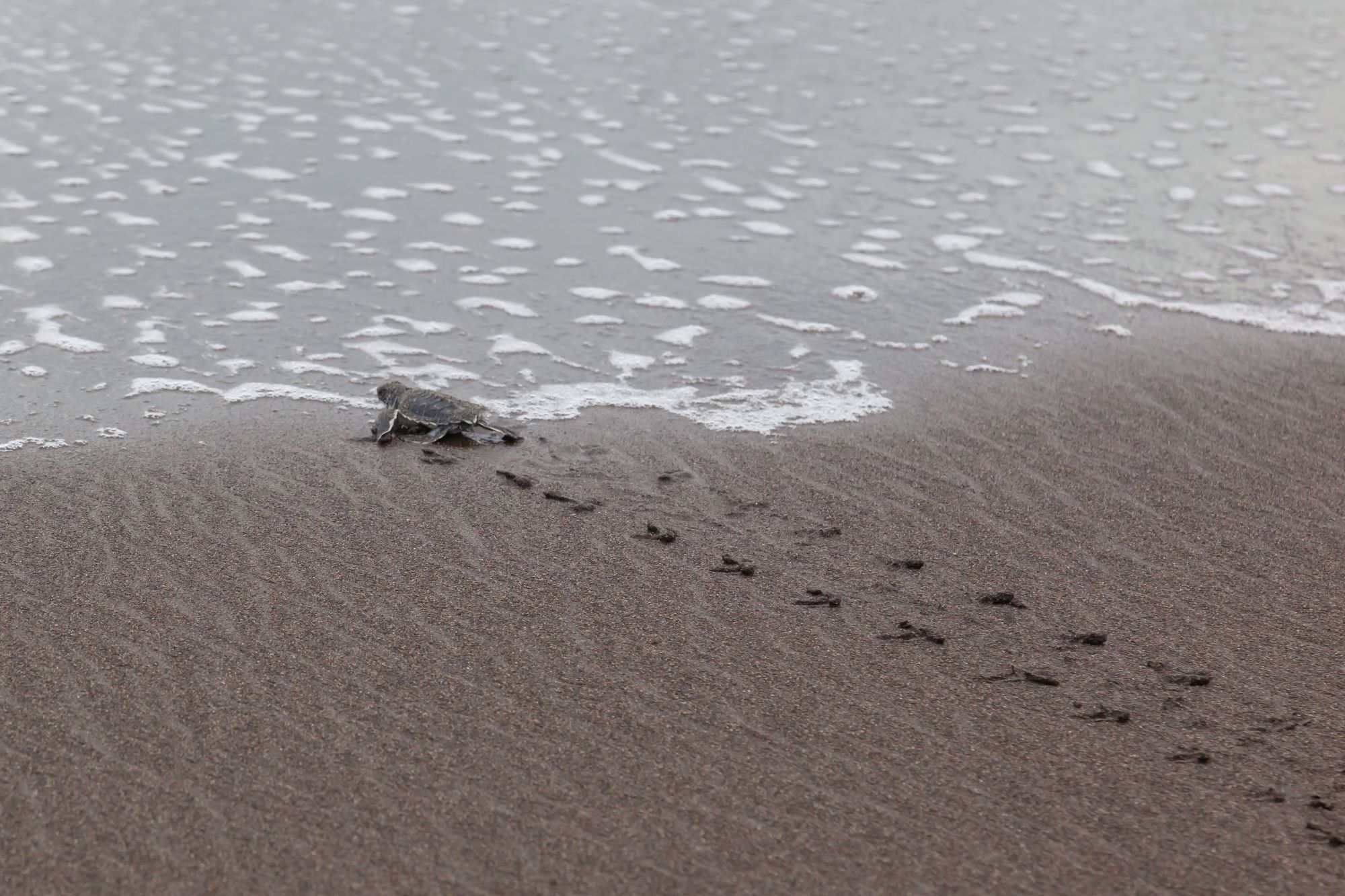 Green_turtle_hatchling_reaches_sea_iStock-1092960846 Web Crop